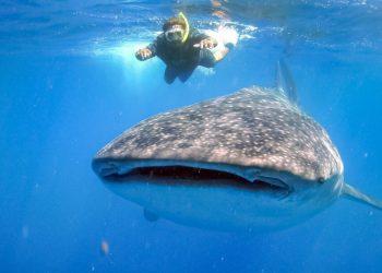 Whale shark tour Puerto Morelos